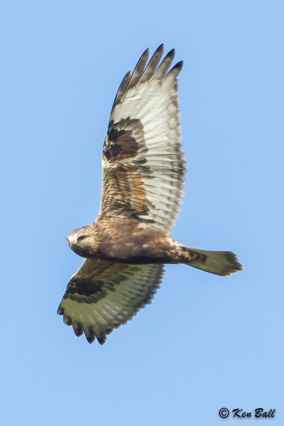 juvenile: immature, rough-legged hawk: Buteo lagopus, Wall Road