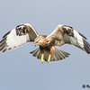 Frank Kenny Road, rough-legged hawk: Buteo lagopus