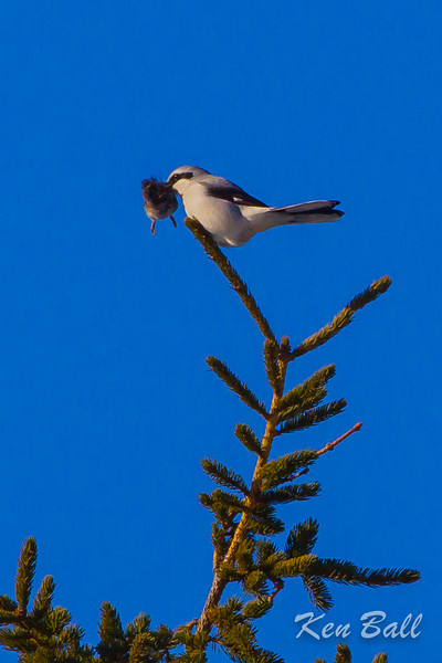 Berrys Side Rd., Constance Bay, northern shrike: Lanius excubitor with vole.