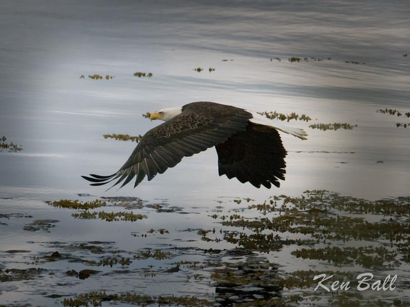 bald eagle: Haliaeetus leucocephalus, Hadia Gwaii, Masset
