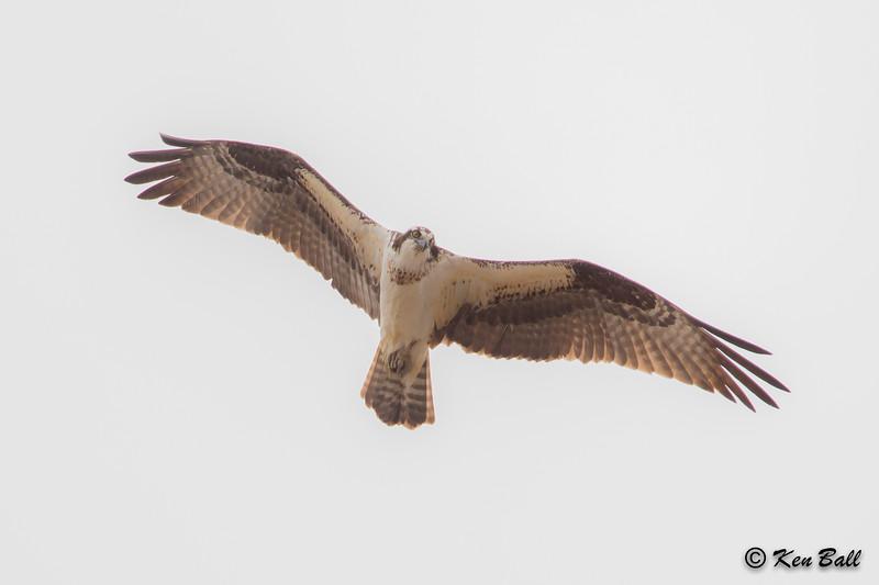 osprey: Pandion haliaetus, Richmond Lagoons,Richmond,ON