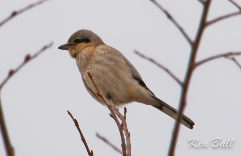 Anderson Road, northern shrike: Lanius excubitor