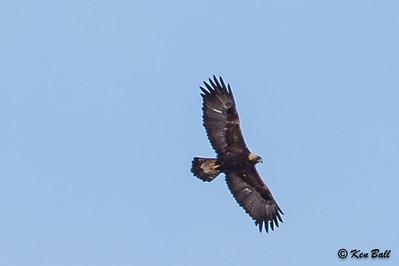 golden eagle: Aquila chrysaetos