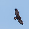 golden eagle: Aquila chrysaetos