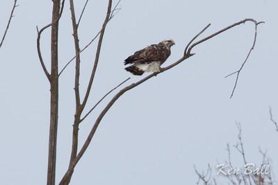 rough-legged hawk: Buteo lagopus, female, light morph, Renaud Rd., Saint Isidore, Ontario,