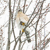 Yes Ken, that's right……Just a little closer.          Blackburn Hamlet, Cooper's hawk: Accipiter cooperii