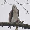 osprey: Pandion haliaetus, Petrie Island
