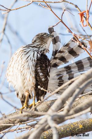 Cooper's hawk: Accipiter cooperii, Hurdman Bridge, immature: juvenile, Rideau River