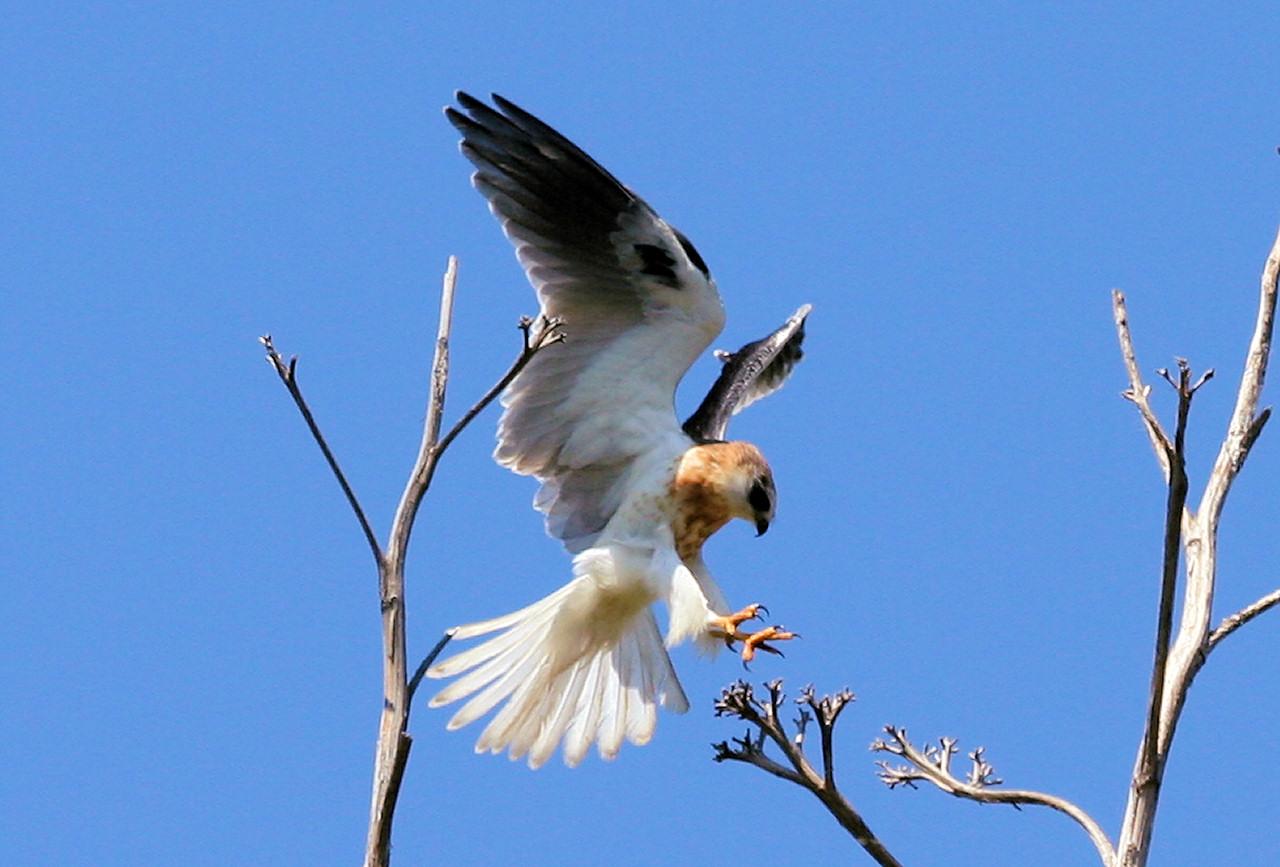 Juvenile White-Tailed Kite - Newport Beach California