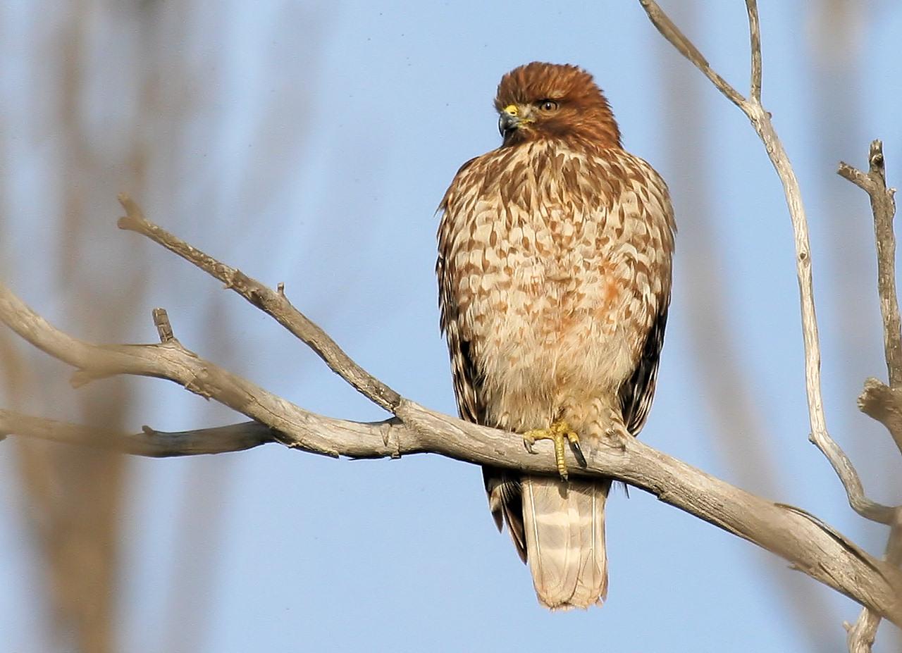 Red Shouldered Hawk Jr.