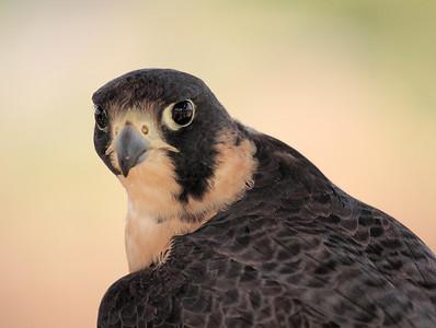 Hawks, Falcons & Kites