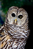 <center>Barred Owl<br><br>Claire D. McIntosh Wildlife Refuge<br>Bristol, Rhode Island</center>