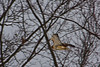<center>Red Tailed Hawk<br><br>Smithfield, Rhode Island</center>