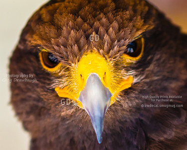Bird's Eye View with a Harris's Hawk
