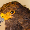Up Close with a Harris's Hawk