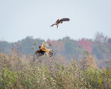 Northern Harriers
