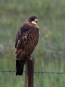Swanson's Hawk (Buteo swainsoni)