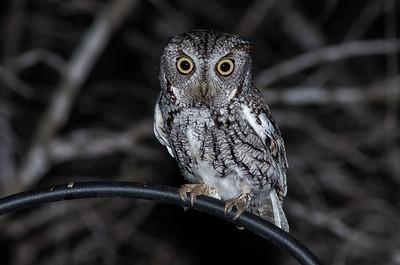 Lovelorn Screech Owl
