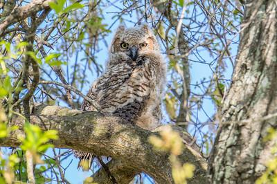 Great Horned Owl (Bubo vriginianus)