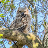 Great Horned Owl (Bubo vriginianus)