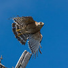 Red-shouldered Hawk (Buteo lineatus extimus)