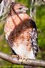 Red-shouldered Hawk Up Close