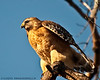 Hawks -- Up Close : These Raptors were photographed along the Fairfax County Parkway corridor in Fairfax County, Va.