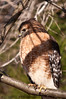 Red-shouldered Hawk Posing