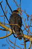 Male Cooper's hawk (about 30% smaller than the female).