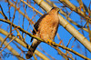 Female cooper's hawk basking in early morning sun.