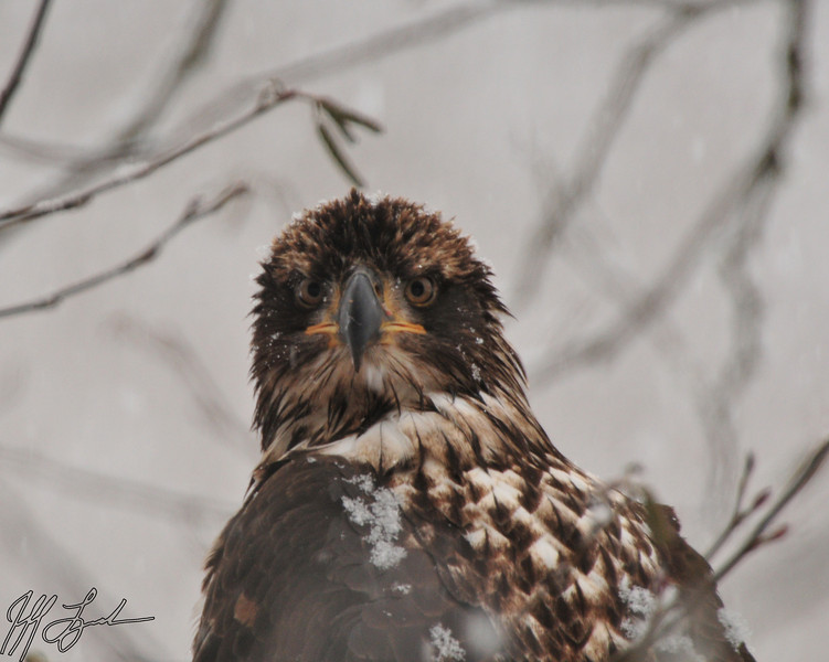 Immature bald eagle in the snow along the Skagit River.