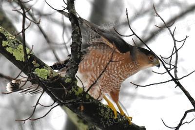#1346  Cooper's Hawk