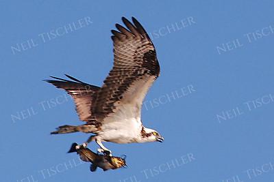 #615  Osprey flying with fish