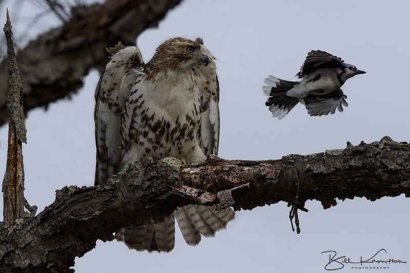 Red-tailed Hawk and Blue Jay