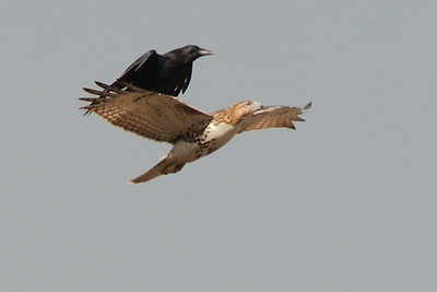 #1707  American Crow attacks a Red Tailed Hawk