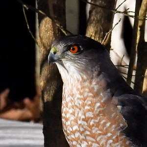 #1621  Cooper's Hawk portrait