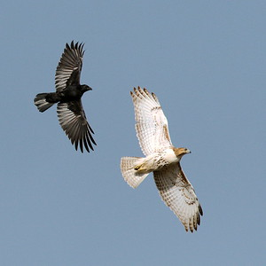 #1710  American Crow attacks a Red Tailed Hawk