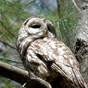 #1551  Barred Owl
