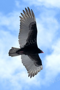 1369  Turkey Vulture in flight