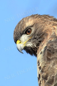 #940  Red tailed hawk portrait