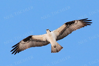 #529  An Osprey in flight