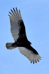 1373  Turkey Vulture in flight