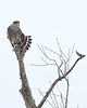 Merlin with a Junco