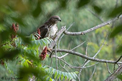 0U2A1471_Broadwinged Hawk