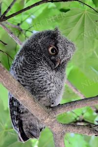 #1001 A Screech Owl juvenile
