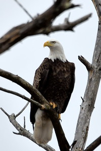 #1682  Bald eagle, adult, perched over swamp in South Acton, MA   02-16-20
