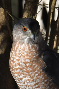 #1622  Cooper's Hawk portrait