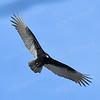 1367  Turkey Vulture in flight