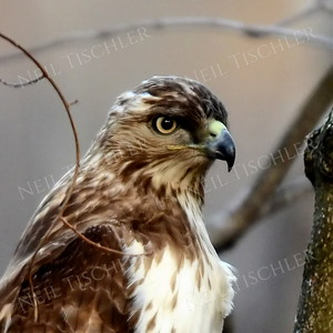 3985  Red tailed hawk portrait