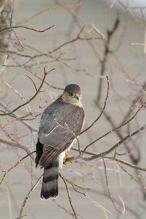 Sharp-Shinned Hawk (Adult) (Accipiter striatus)